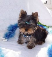 cute andhealthy tea cup yorkie puppy for sale