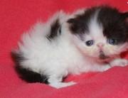 Persian Kitten for new homes