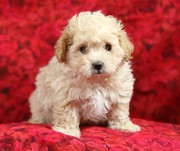 Maltese puppy for adoption.