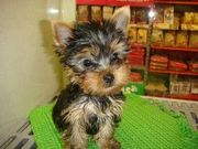 Affectionate and playful little baby T-cup Yorkie.