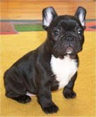 LOVELY FRENCH BULLDOG PUPPIES FOR ADOPTION